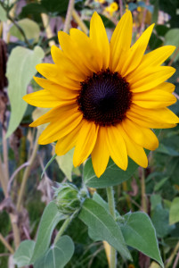 finishing_well-in-life-sunflower-from-my-garden