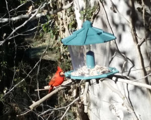 Birds love our feeder, this little guy is a frequent visitor to our bird feeder