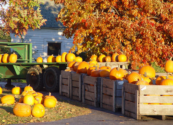 A tractor and crates of pumpkins harvested for pies and carvings for autumn traditions