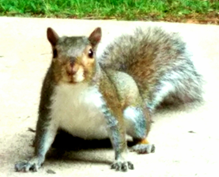 Chuckles, one of our backyard squirrels waiting for Wayne to toss a few peanuts his way.