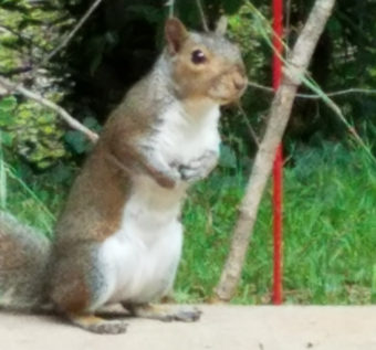 One of our backyard squirrels waiting for Wayne to toss a few peanuts his way.
