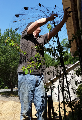 Wayne is shown attaching the netting over our tree to keep the birds from reaching the berries.
